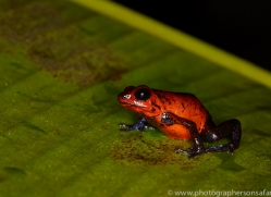 Blue Jean Frog 2014 -1copyright-photographers-on-safari-com