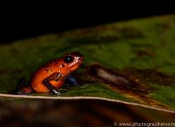 Blue Jean Frog 2014 -2copyright-photographers-on-safari-com