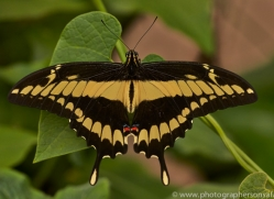 Butterfly 2014 -5copyright-photographers-on-safari-com