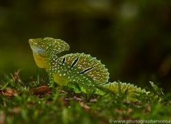 Emerald Basilisk Lizard 2014 -2copyright-photographers-on-safari-com