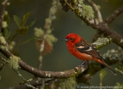 Flame Coloured Tanager 2014 -3copyright-photographers-on-safari-com