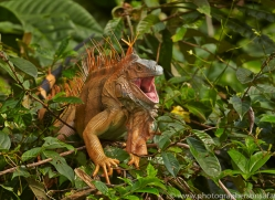 Green Iguana 2014 -1copyright-photographers-on-safari-com