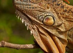 Green Iguana 2014 -2copyright-photographers-on-safari-com
