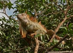 Green Iguana 2014 -3copyright-photographers-on-safari-com