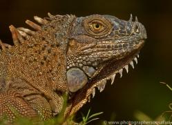 Green Iguana 2014 -5copyright-photographers-on-safari-com