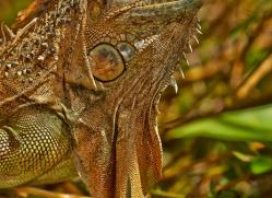 Green Iguana 2014 -6copyright-photographers-on-safari-com