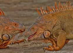 Green Iguana 2014 -7copyright-photographers-on-safari-com