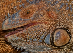 Green Iguana 2014 -8copyright-photographers-on-safari-com