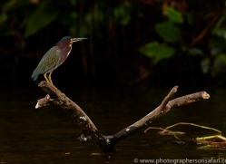 Green heron 2014 -5copyright-photographers-on-safari-com