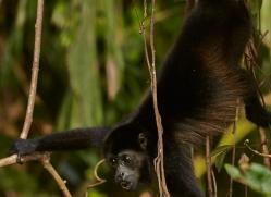 Howler Monkey 2014 -1copyright-photographers-on-safari-com
