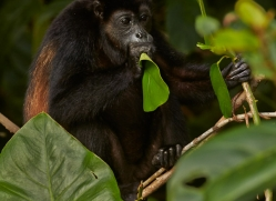 Howler Monkey 2014 -2copyright-photographers-on-safari-com