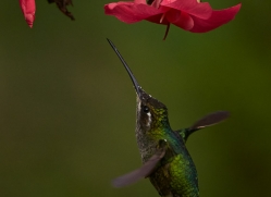 Hummingbird 2014 -31copyright-photographers-on-safari-com