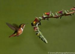 Hummingbird 2014 -32copyright-photographers-on-safari-com