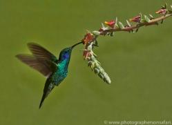 Hummingbird 2014 -33copyright-photographers-on-safari-com