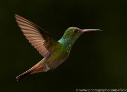 Hummingbird 2014 -38copyright-photographers-on-safari-com