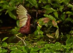 Jacana 2014 -5copyright-photographers-on-safari-com