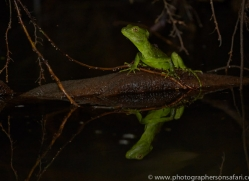 Jesus Christ Lizard 2014 -1copyright-photographers-on-safari-com
