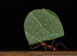 Leafcutter Ant 2014 -1copyright-photographers-on-safari-com
