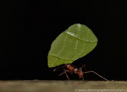 Leafcutter Ant 2014 -2copyright-photographers-on-safari-com