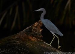 Little Blue Heron 2014 -1copyright-photographers-on-safari-com