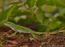Lizard 2014 -4copyright-photographers-on-safari-com