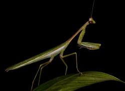 Praying mantis 2014 -1copyright-photographers-on-safari-com