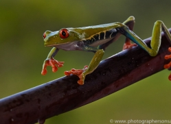 Red Tree Frog 2014 -10copyright-photographers-on-safari-com