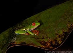 Red Tree Frog 2014 -1copyright-photographers-on-safari-com