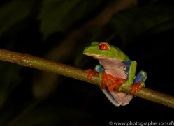 Red Tree Frog 2014 -2copyright-photographers-on-safari-com