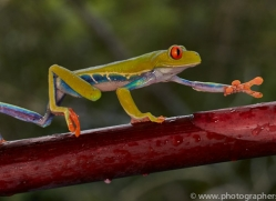 Red Tree Frog 2014 -3copyright-photographers-on-safari-com