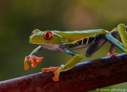 Red Tree Frog 2014 -4copyright-photographers-on-safari-com