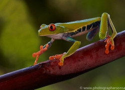 Red Tree Frog 2014 -5copyright-photographers-on-safari-com