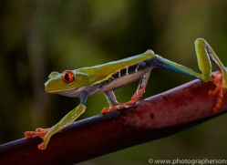 Red Tree Frog 2014 -6copyright-photographers-on-safari-com