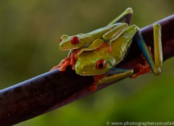 Red Tree Frog 2014 -7copyright-photographers-on-safari-com