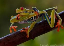 Red Tree Frog 2014 -8copyright-photographers-on-safari-com