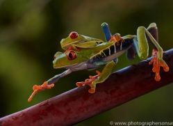 Red Tree Frog 2014 -9copyright-photographers-on-safari-com
