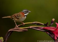 Rufous Collared Sparrow 2014 -1copyright-photographers-on-safari-com