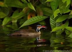 Sungrebe 2014 -1copyright-photographers-on-safari-com
