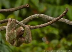 Three Toed Sloth 2014 -1copyright-photographers-on-safari-com