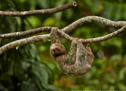 Three Toed Sloth 2014 -2copyright-photographers-on-safari-com