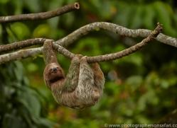 Three Toed Sloth 2014 -3copyright-photographers-on-safari-com