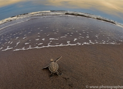 Turtle 2014 -6copyright-photographers-on-safari-com