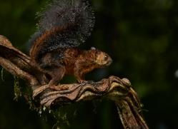 Variegated Squirrel 2014 -1copyright-photographers-on-safari-com