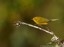 Wilson's Warbler 2014 -2copyright-photographers-on-safari-com