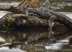 american-crocodile-5186-copyright-photographers-on-safari-com
