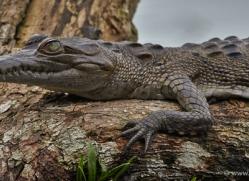 american-crocodile-5187-copyright-photographers-on-safari-com