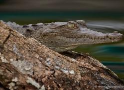 american-crocodile-5188-copyright-photographers-on-safari-com