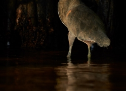 bare-throated-tiger-heron-5251-copyright-photographers-on-safari-com