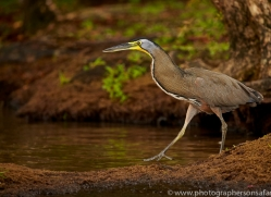 bare-throated-tiger-heron-copyright-photographers-on-safari-com-7987