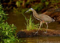 bare-throated-tiger-heron-copyright-photographers-on-safari-com-7988
